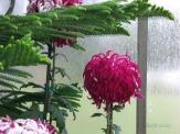 Chrysanthemums (21)