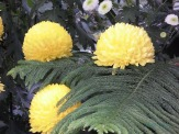 Chrysanthemums (22)
