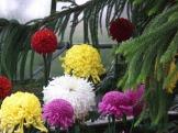 Chrysanthemums (23)