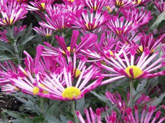 Chrysanthemums (24)