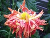 Chrysanthemums (25)