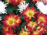 Chrysanthemums (28)