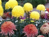 Chrysanthemums (29)