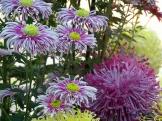 Chrysanthemums (30)