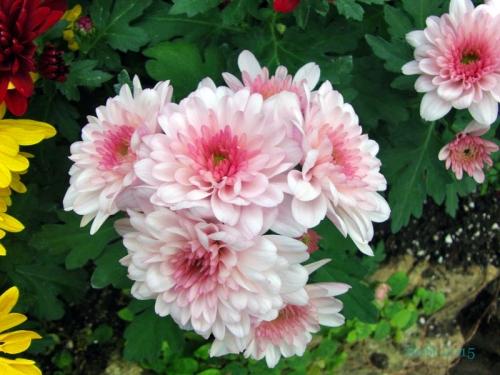 Chrysanthemums  (3)