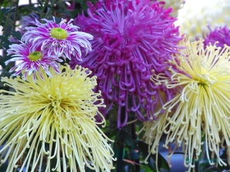 Chrysanthemums (31)