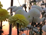 Chrysanthemums (32)