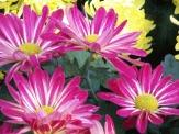 Chrysanthemums (33)