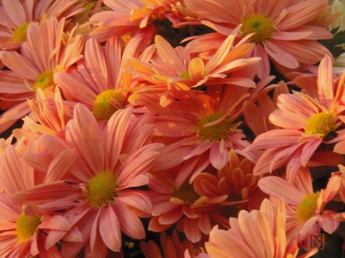 Chrysanthemums (4)