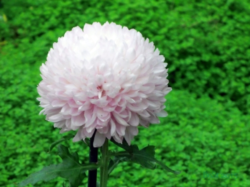 Chrysanthemums  (5)