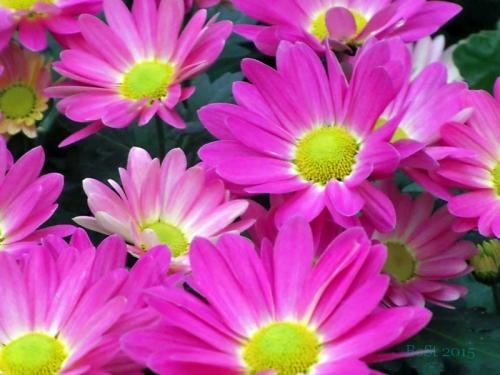 Chrysanthemums  (6)