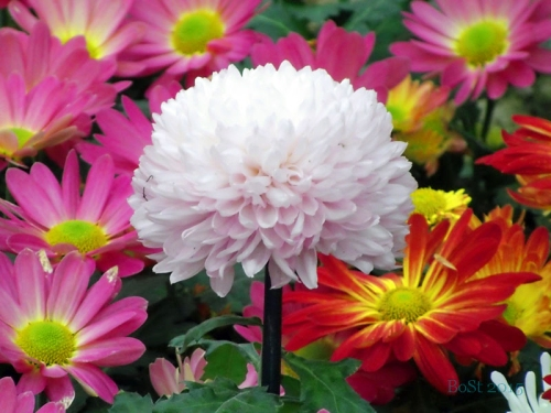 Chrysanthemums  (7)
