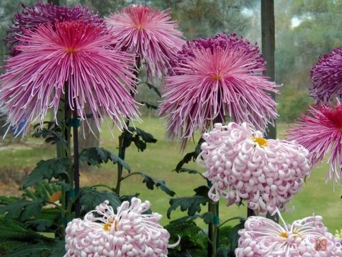 Chrysanthemums (8)