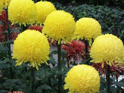 Chrysanthemums  (9)