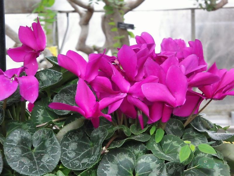 likewise cyclamen could be given as a of maternal love this is symbolized by the stems from its flower which bend elegantly and with